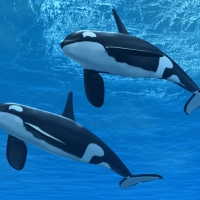 two-orcas