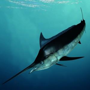 Marlin Under Water