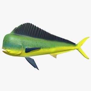 mahi mahi - dolphinfish